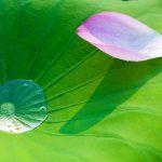 lotus-563455_960_720